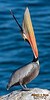 Brown Pelican Bill Throw