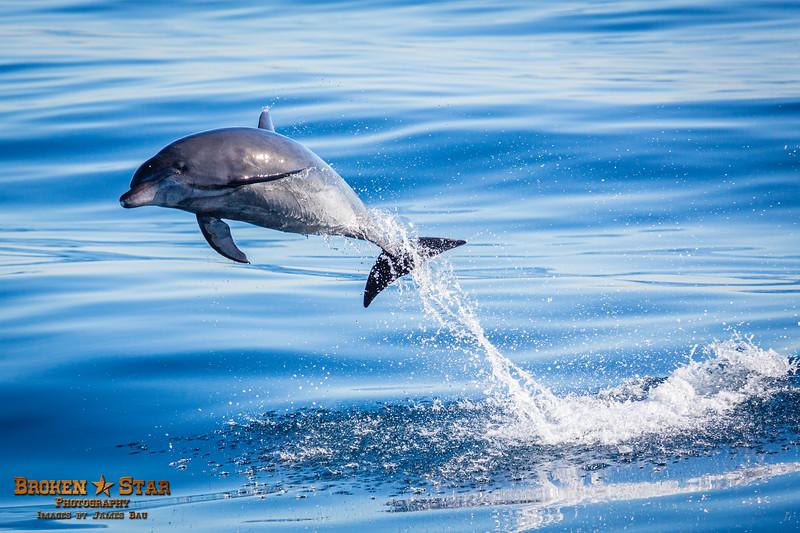 Bottlenose Dolphin Launching, Shot 1 of 4