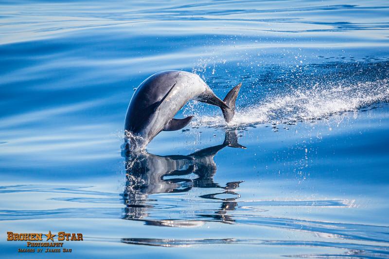 Bottlenose Dolphin Launching, Shot 4 of 4