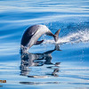 Bottlenose Dolphin Launching, Shot 4 of 4