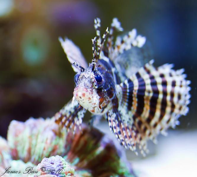 Fuzzy Dwarf Lionfish in my nano aquarium.