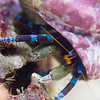 Blue-legged Hermit Crab