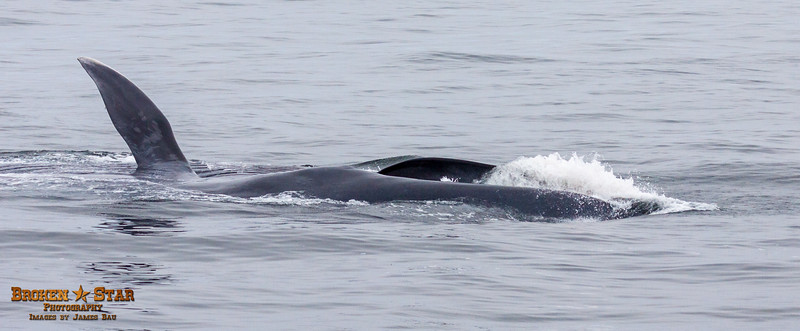 Blue Whale Surface Feeding