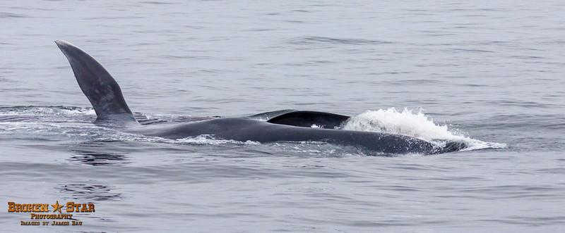 Blue Whale Surface Feeding