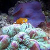 Clown Fish, Brain Coral & Purple Mushroom Coral