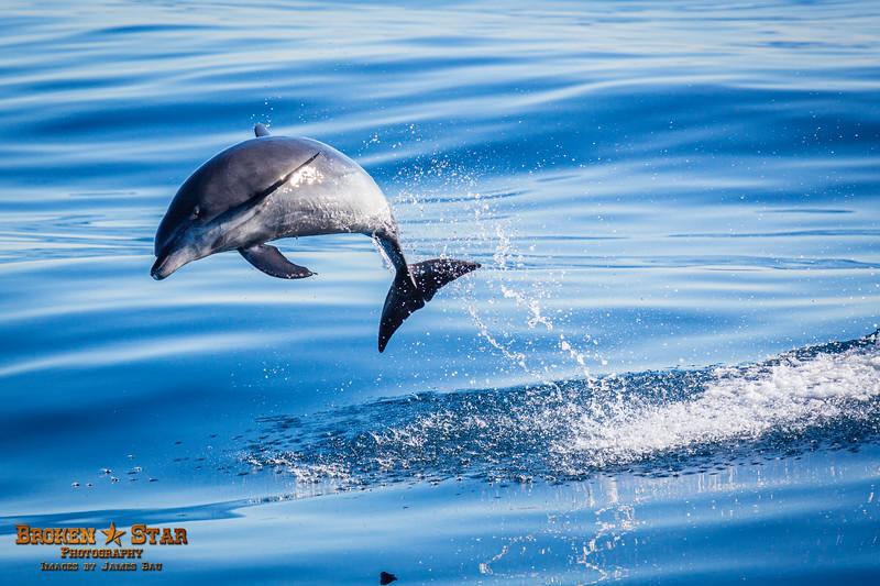 Bottlenose Dolphin Launching, Shot 2 of 4