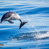 Bottlenose Dolphin Launching, Shot 2 of 4