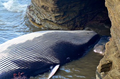 Fin Whale Tow, Pt. Loma