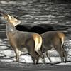 Hjort på bakkane..26.12.2010 ca kl. 05.15. -23gr