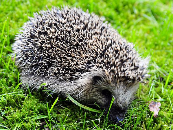 Eit lite Pinnsvin på besøk idag...foto: Kari