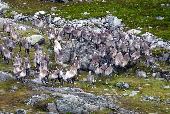 Reinsdyr 18.09.2009 i vossafjell.