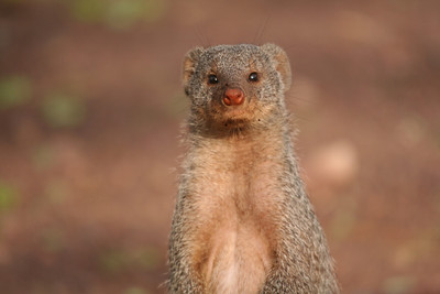First Baby Mongooses of the Season