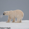 First ice floes-first bear kill : In order to see Polar bears, you to get into the ice floes. They are not called Ice bears for nothing.