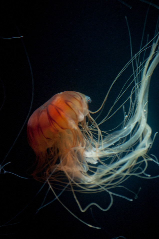 Jelly Fish1