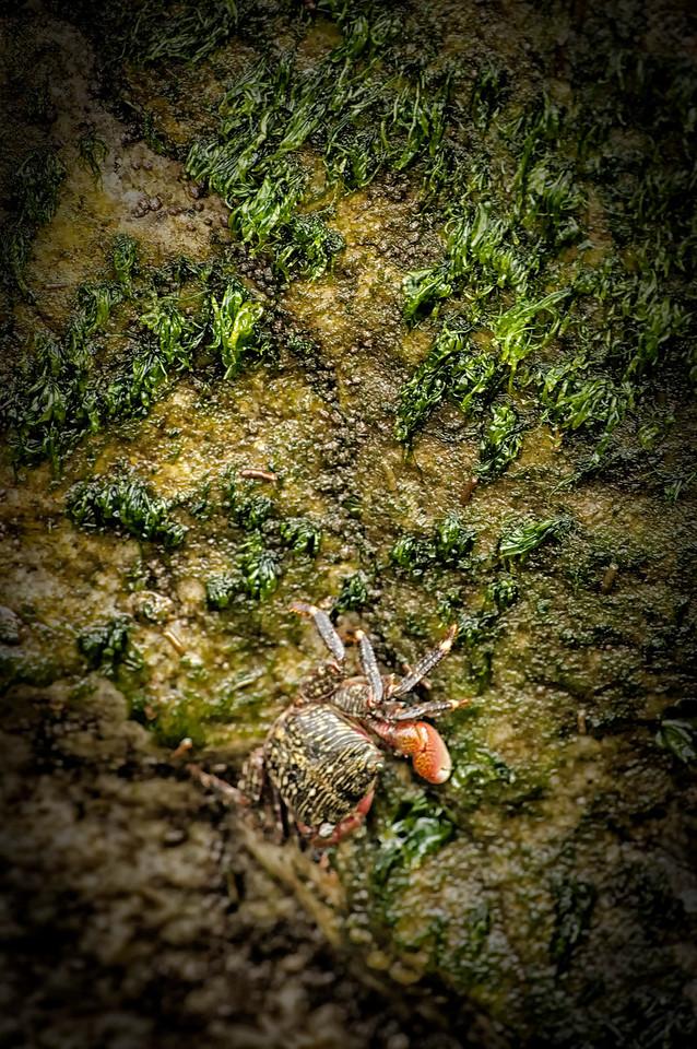Dana point Jetty crab