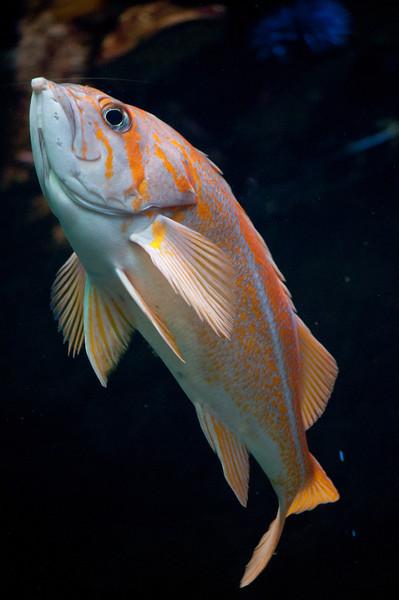 Orange Fish2