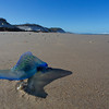 Bluebottle or Man-of-war, Broadwater Beach