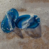 Velella or Sea Raft, Broadwater Beach