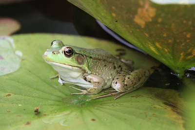 An American bullfrog sitting on a green lillypad