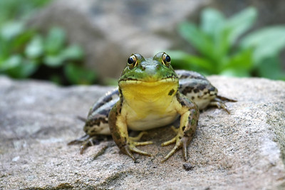 A big green bullfrog sitting on a rock
