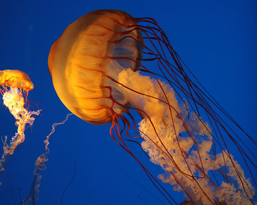a large and a small jellyfish with long tenticles