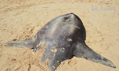 Sunfish washed up on John Smith's Bay