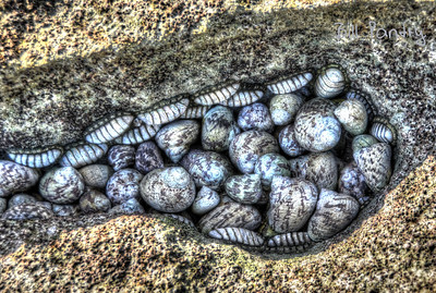 Whelks & Chitons at Devonshire Bay Park