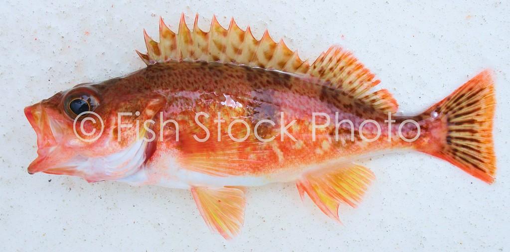 Halfbanded Rockfish<br /> (SEBASTES SEMICINCTUS)