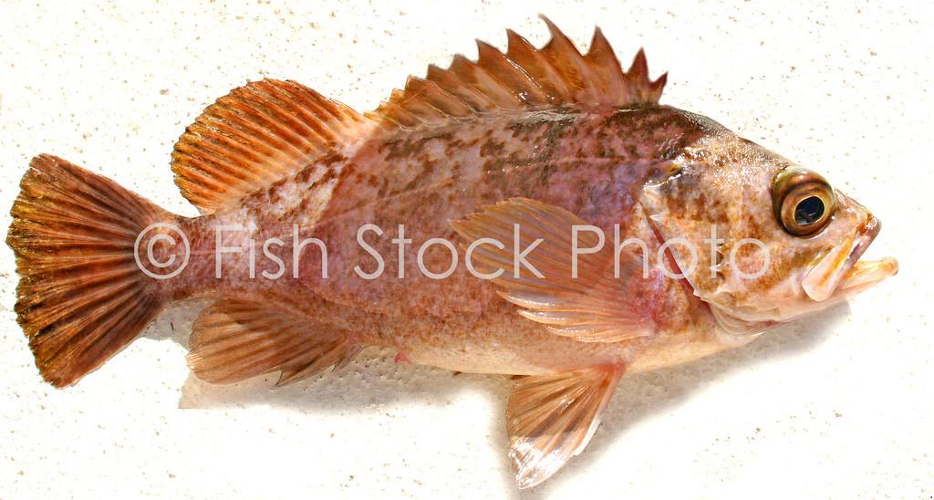 Kelp Rockfish ?<br /> (SEBASTES ATROVIRENS) ?