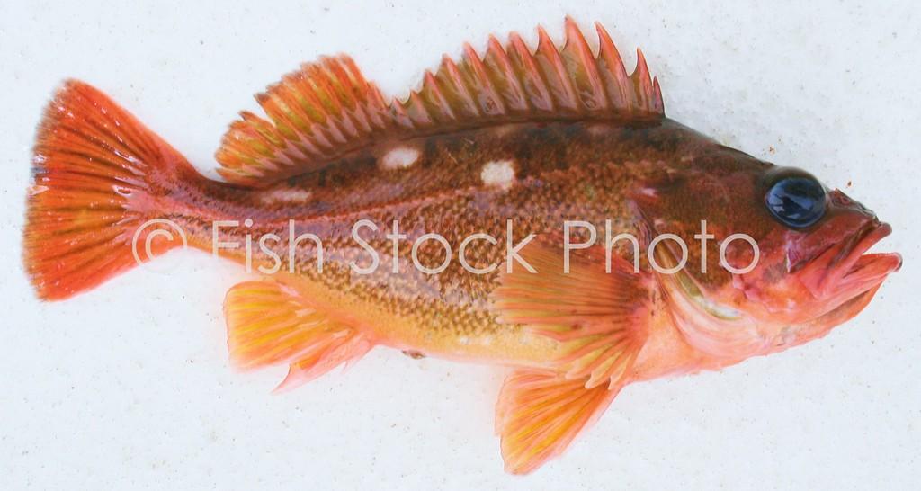 Rosy Rockfish<br /> (SEBASTES ROSACEUS)