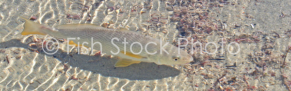 Yellowfin croaker in the surf. (UMBRINA RONCADOR)