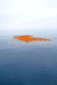 Kelp paddy.
