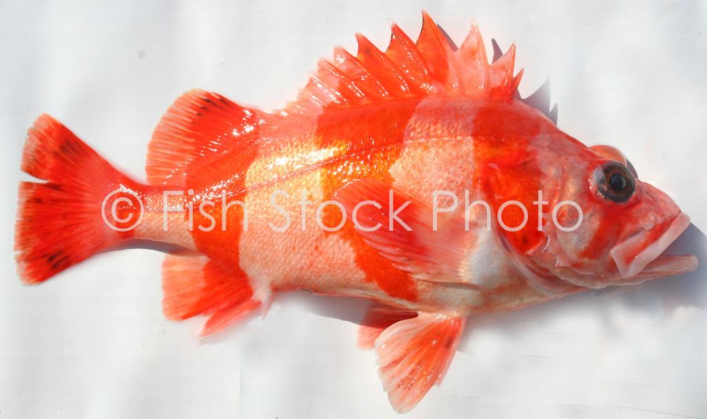 Flag Rockfish<br /> (SEBASTES RUBRIVINCTUS)