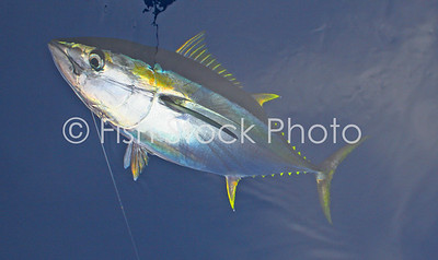 Yellowfin tuna in water. (THUNNUS ALBACARES)