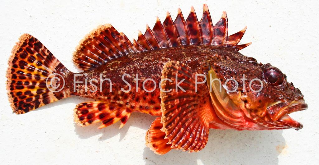 Scorpion fish. / sculpin<br /> (SCORPAENA GUTTATA)