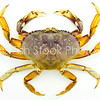 Dungeness crab (CANCER MAGISTER) dorsal view
