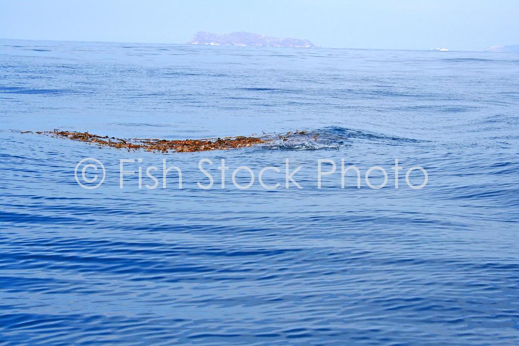 Kelp paddy dorado