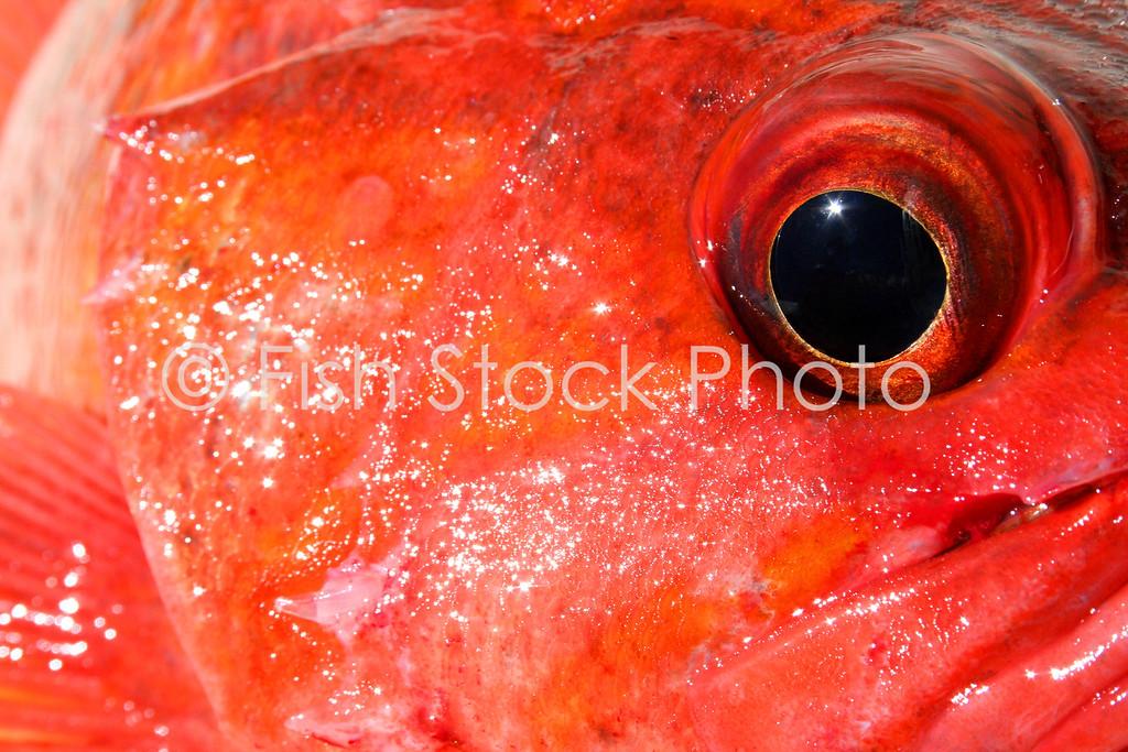 Vermilion rockfish eye.