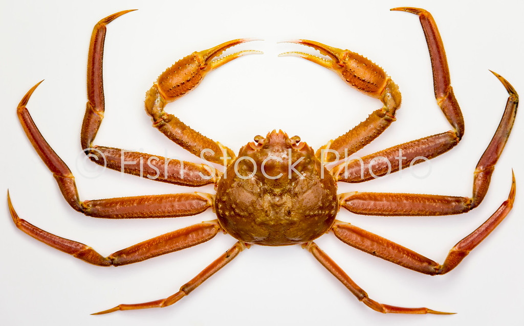 Snow Crab dorsal view