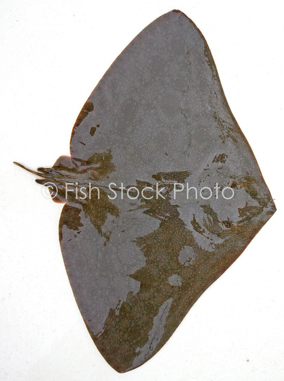 Butterfly Ray<br /> (GYMNURA MARMORATA)<br /> Top View