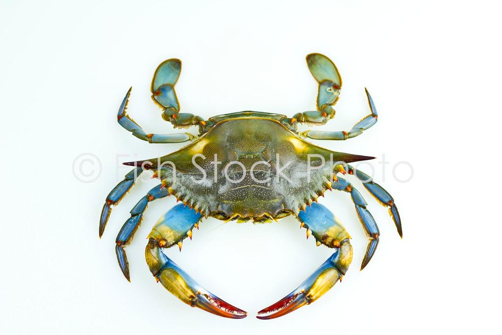 Blue crab picture