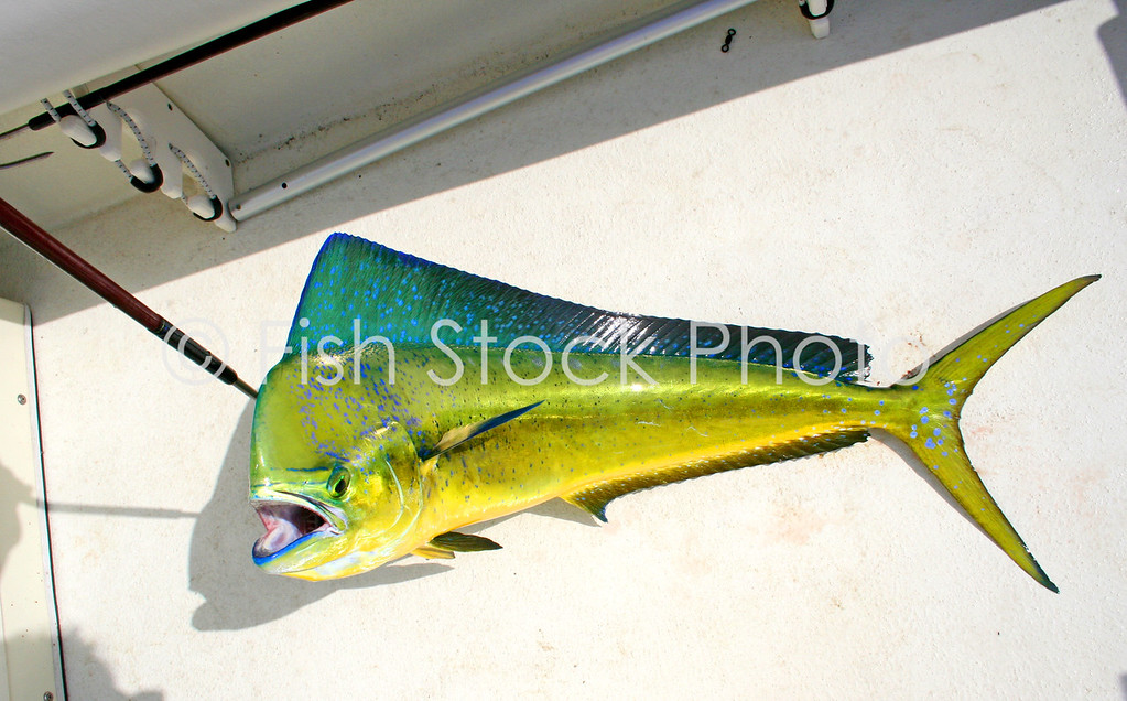 Dorado / MahiMahi / Dolphinfish / <br /> (CORYPHAENA HIPPURUS)