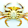 Dungeness crab (CANCER MAGISTER) bottom view