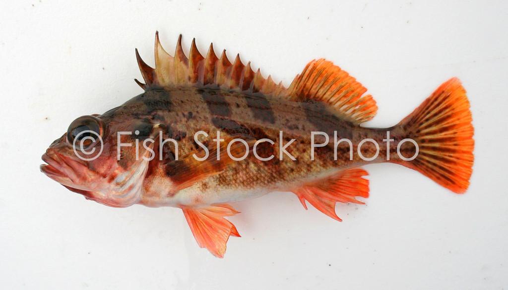 Calico Rockfish<br /> (SEBASTES DALLI)