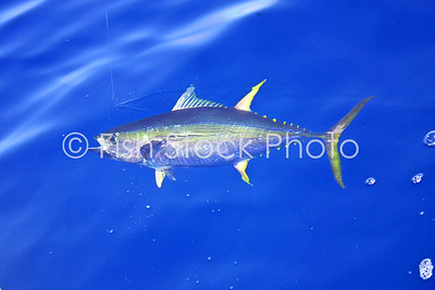 Yellowfin tuna in water.