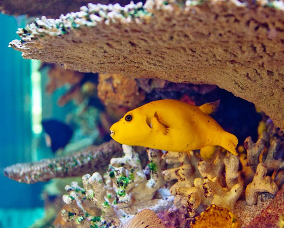 Front Page Photo ~ September 2011 Photo by lkbart  ~  Yellow Puffer in Stinson Tank