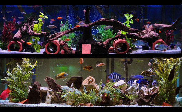 Front Page Photo ~ February 2012 Photo by Ryan  ~  in2cichlids tanks