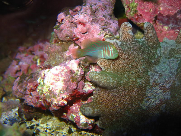 Second home page photo on forummotion site:  Clown Goby ~ by Shelleyo