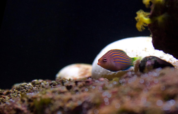 Front Page Photo ~ November 2011 Photo by lkbart  ~  Six Line Wrasse