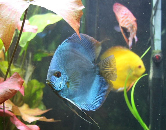 Blue Snakeskin Discus ~ by C3H6O3